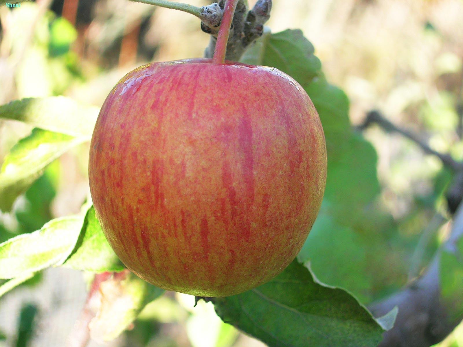 Сорт яблони Винное