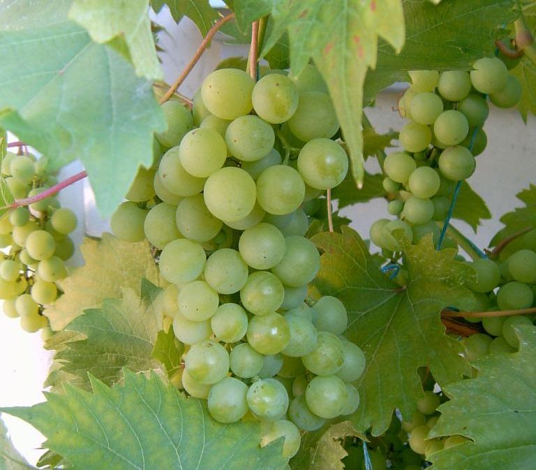 Гроздь гибридного винограда сорта Дружба среди зеленых листьев