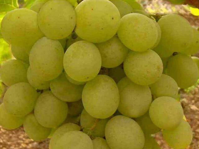 Спелые ягоды винограда гибридной формы Кеша 1 светло-зеленого оттенка