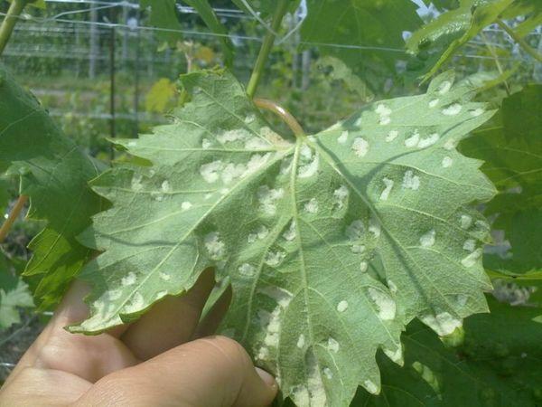 Паутинные клещи на винограде
