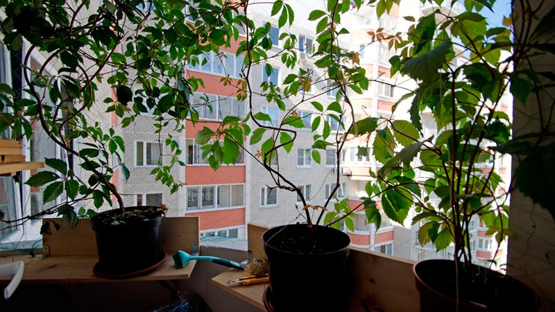 Виноград на балконе выращивание в контейнерах