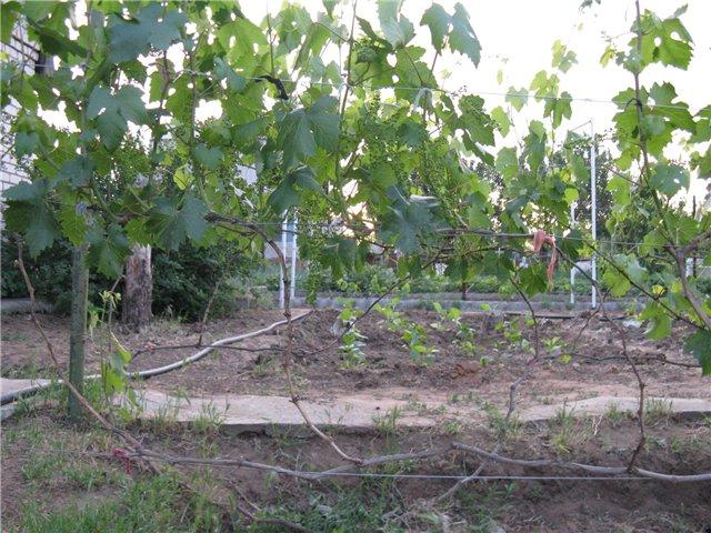 Виноградные шпалеры