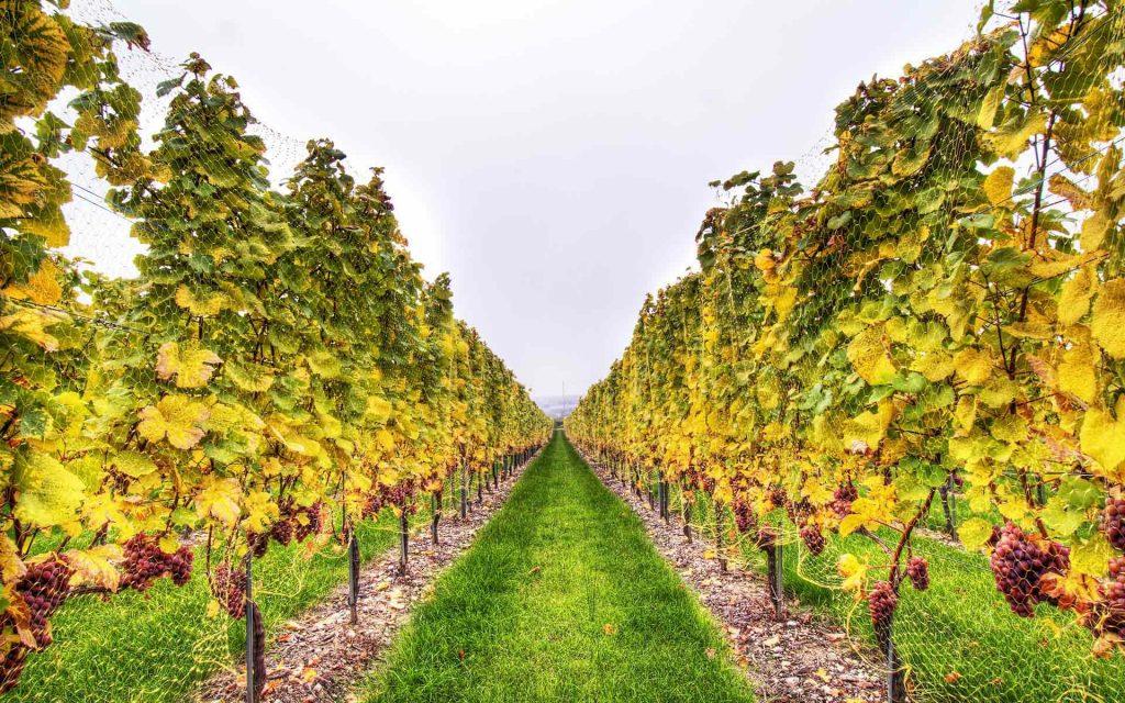 Виноградник со шпалерами осенью