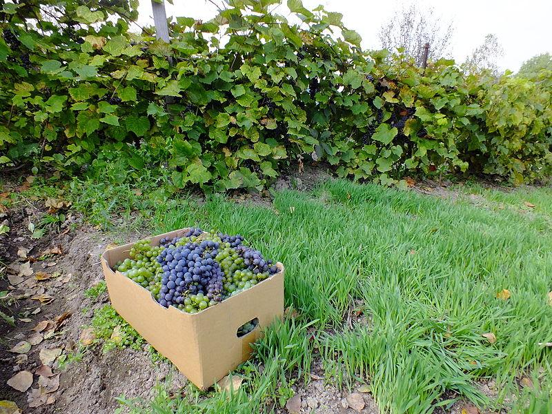 Виноградные плантации Дальнего Востока
