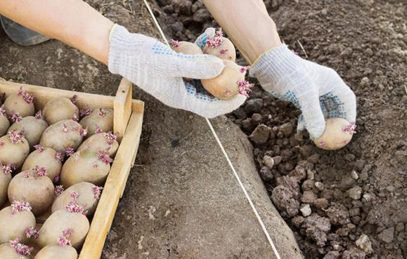 Высадка картофеля в сухую борозду