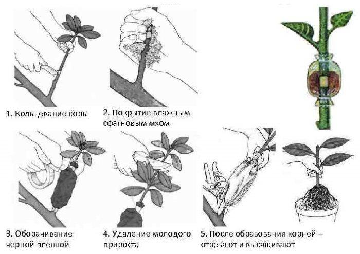 Пошаговый процесс размножения сливы воздушными отводками