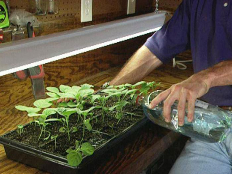 Выращивание баклажанов в теплице: сорта, посадка, уход