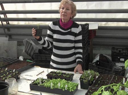 На фото выращивание петунии
