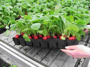 Как выращивать редиску у себя на даче