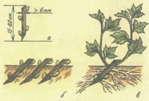Высадка черенков чёрной смородины в грунт