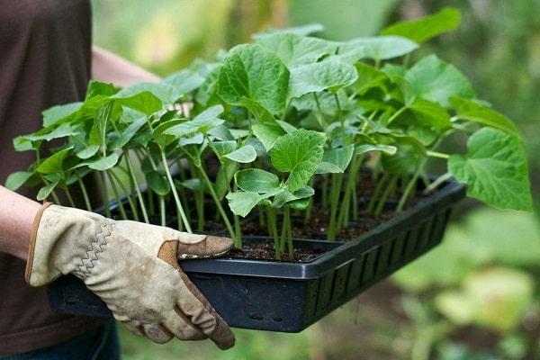 выращиваться в контейнерах
