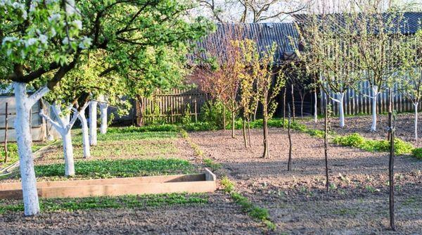 Яблони посажены на оптимальном расстоянии
