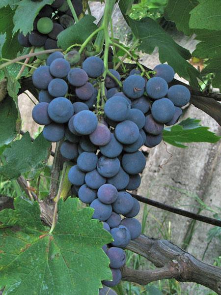 Ягоды винограда сорта Страшенский