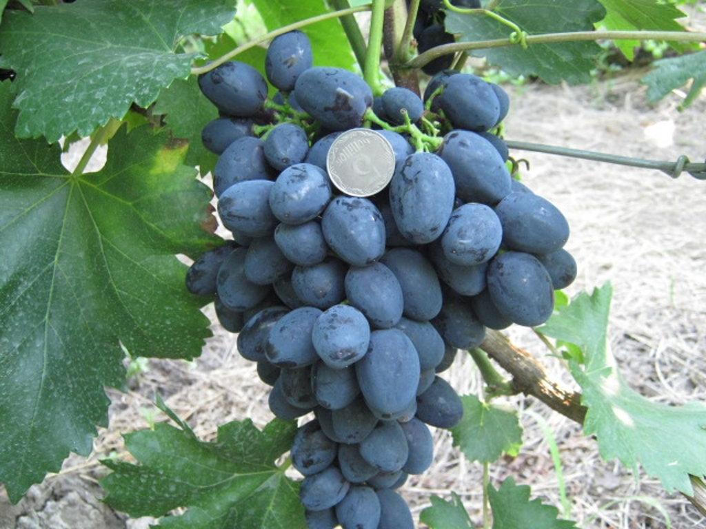 Ягоды винограда Забава