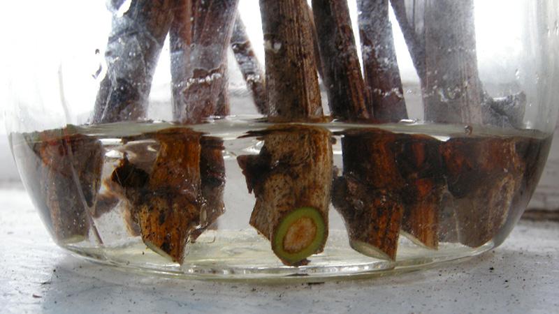 Замачивание одеревеневших черенков сливы в стеклянной банке