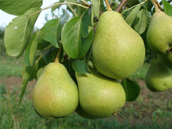 Ветка грушевого дерева сорта Осенняя Яковлева с зелеными плодами