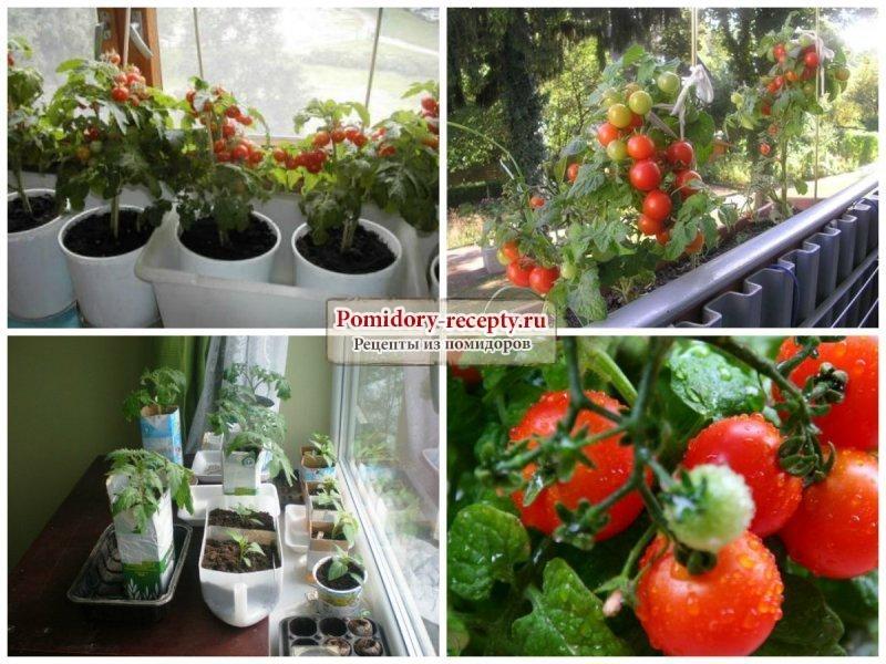 Помидор в бутылке: как выращивать рассаду помидор в бутылке?