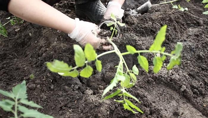 когда высаживать помидоры в открытый грунт рассадой