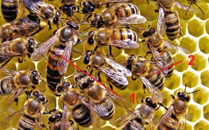 Консистенция мёда с амурского бархата