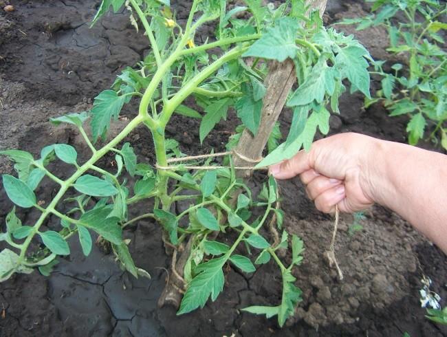 Способы подвязки томатов в теплице зачем подвязывать