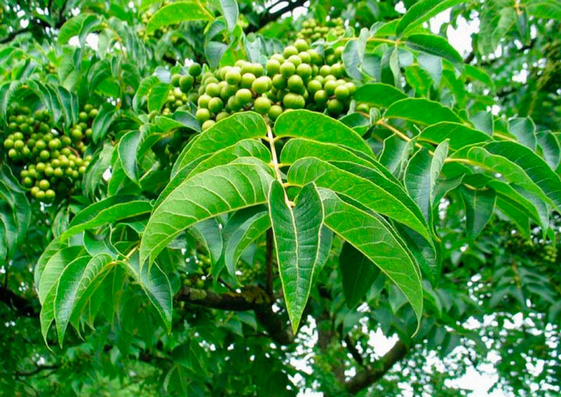 Дерево амурский бархат
