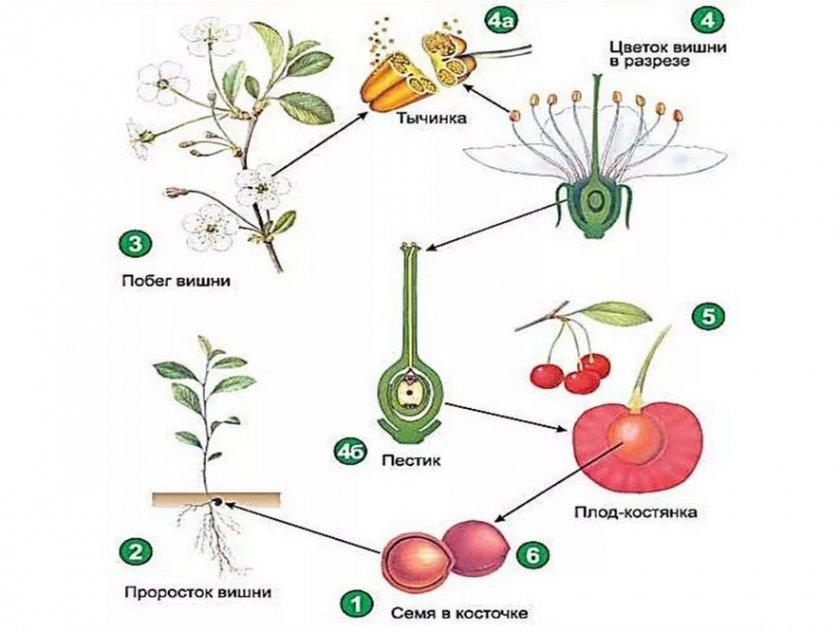 Жизненный цикл вишни