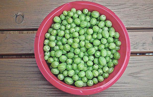 После созревания, ягодки хранятся не более 5 дней, так что желательно сразу их собирать