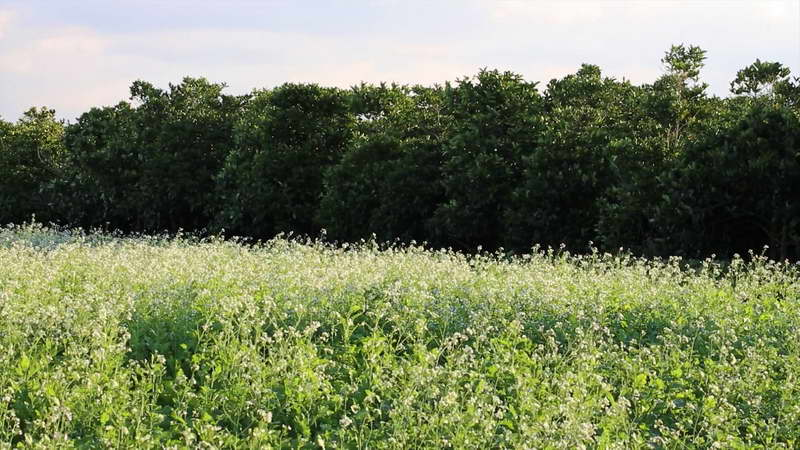 Редька масличная как кормовая культура агротехника