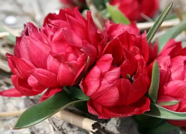 Тюльпаны: голландские, степные, пионовидные и другие сорта с фото и названиями