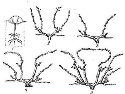 Схема веерная формировка винограда