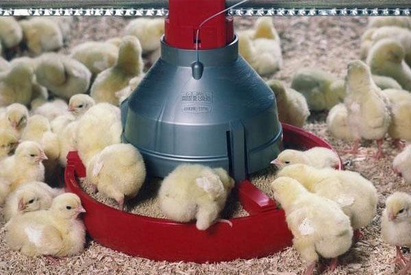 Выхаживание маленьких цыплят