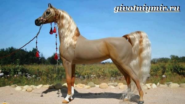 Арабская-лошадь-История-описание-уход-и-цена-арабской-лошади-4