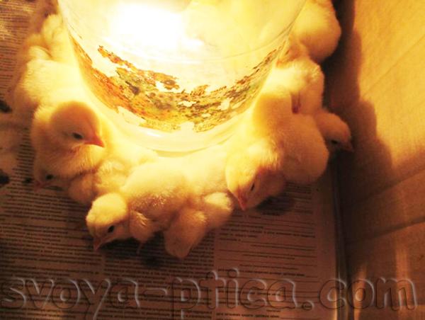 Бройлерные цыплята - обогрев в домашних условиях
