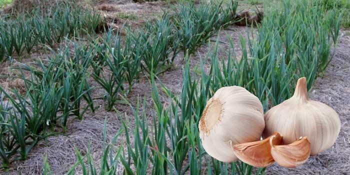 Чем подкормить чеснок весной для увлечения размера головок, а чем не стоит