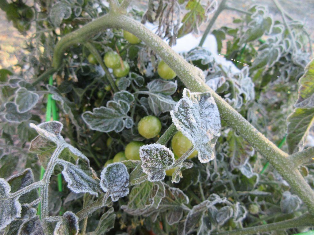 Способы спасти подмёрзшую рассаду