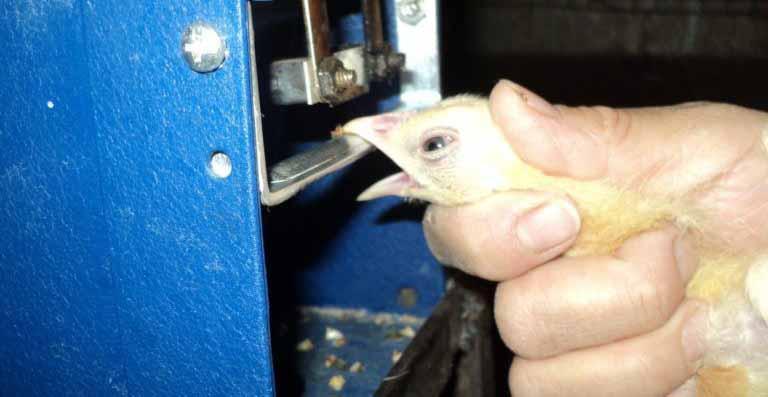 Дебикирование клюва цыплят