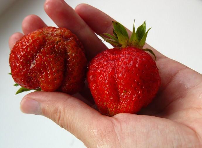 Особенно крупными вырастают ягоды первого урожая сорта «Первоклассница»