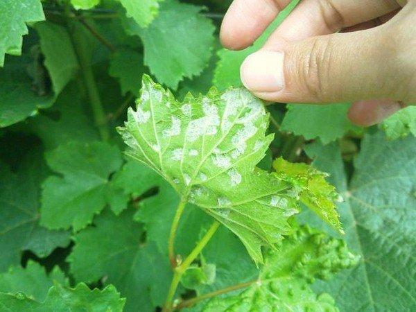 виноградный клещ на листе