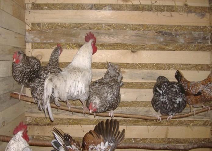Общими симптомами заболевания у курицы являются неопрятный, больной вид, синюшность гребня, присутствие в помёте глистов и их яиц