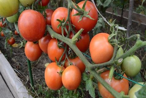 грядка томатов