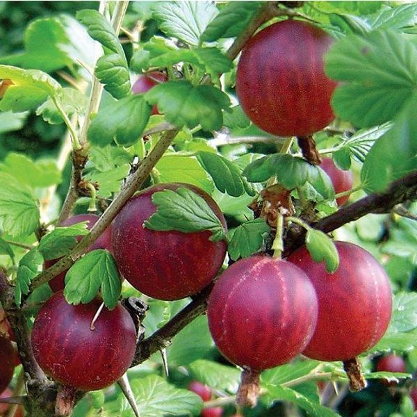 Спелые ягоды крыжовника сорта Колобок темно-бардового цвета