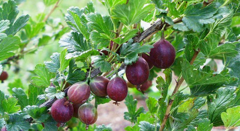 Сочные ягоды крыжовника Колобок средних размеров и листья ярко зеленого цвета