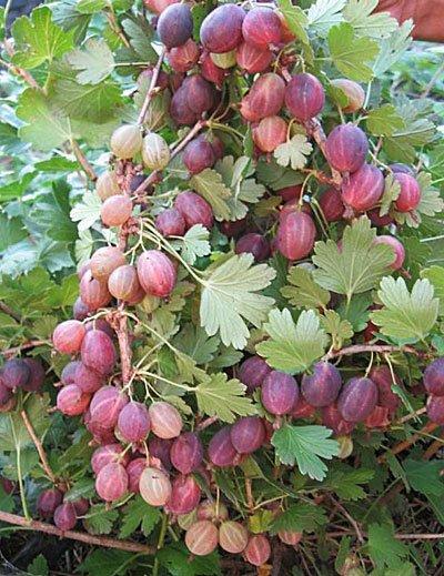 Ветки шиповника Колобок с ягодами правильной овальной формы