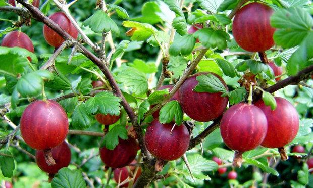 Темно-бардовые ягоды крыжовника сорта Консул на ветках без шипов
