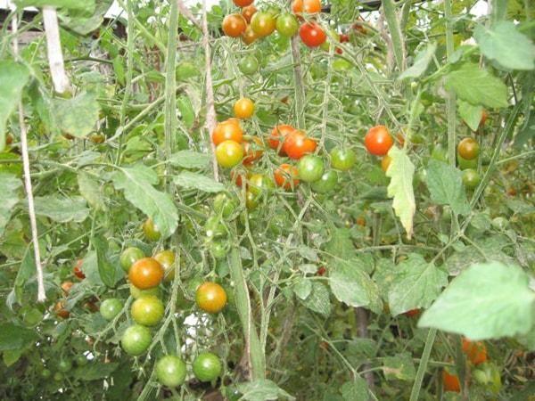 Томат Красная Гроздь характеристика и описание сорта урожайность с фото