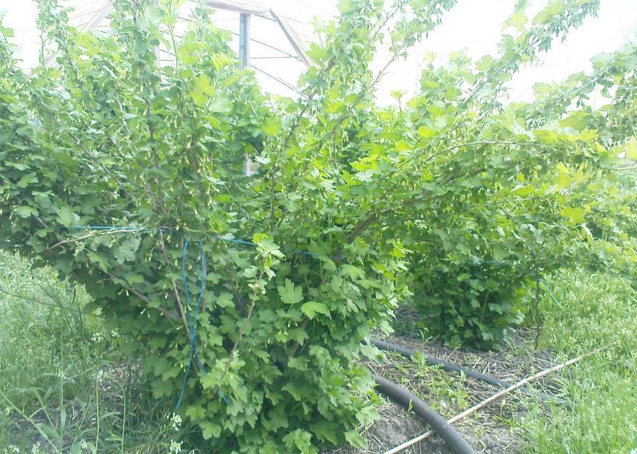 Рослый куст крыжовника Колобок с подвязанными длинными ветками, полив под корень из шланга