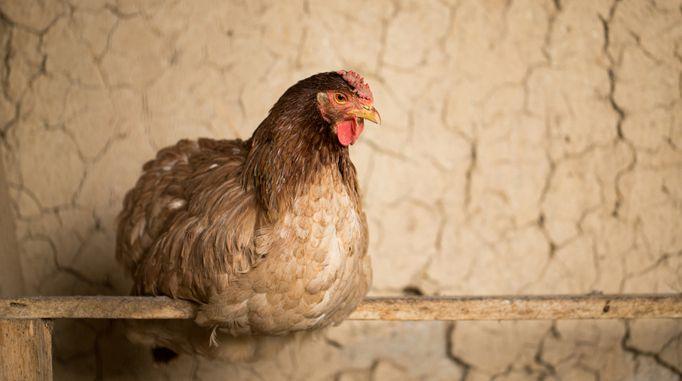 Малоподвижное состояние птицы один из признаков заболевания гельминтами
