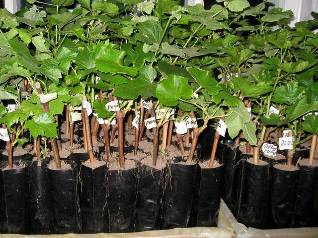 Как выращивать виноград в теплице из поликарбоната?