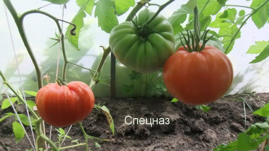 томат спецназ фото куста