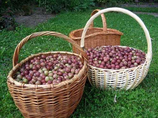 Плетенные корзины с ягодами крыжовника сорта Колобок, сбор урожая на садовом участке